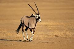 Running gemsbok antelope Stock Photos