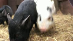 Stock Video Footage of Micro Pigs 1 of 3