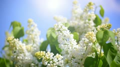 branch of a white lilac waves on a wind - stock footage
