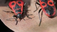 Firebugs mating [Macro] _8 Stock Footage