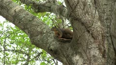 Squirrel scurry away Stock Footage