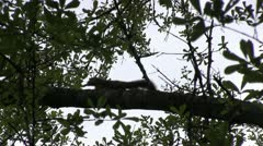 Squirrel scurry silhouette Stock Footage