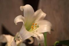 Lily Flower - stock photo