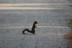 Squirrel standing in the street Stock Photos