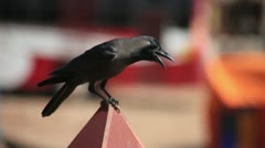 Crow Stock Footage