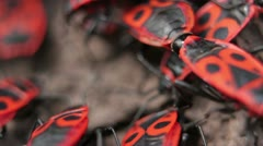 Firebugs mating [Macro] - Copulation closeup  _3 Stock Footage