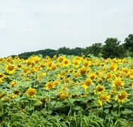 A field of blooming sunflowers Stock Photos