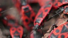 Firebugs mating [Macro] aggregation behavior _3 Stock Footage