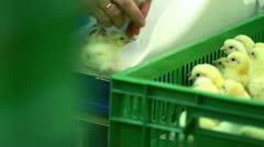 Sorting chickens Stock Footage