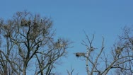 Stock Video Footage of Blue Heron nesting in tree tops