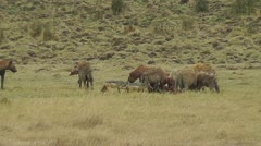 Group of hyenas eating a pray - stock footage