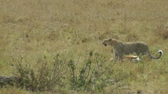 Leopard dragging pray in savannah Stock Footage