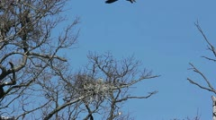 Blue Heron nesting in tree tops Stock Footage
