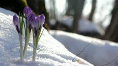 Beautiful Spring Flowers-crocuses Stock Footage