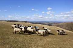 sheep on the wolds - stock photo