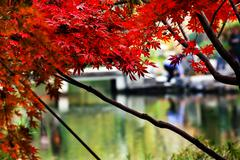 maple leaves bridge west lake hangzhou zhejiang china - stock photo