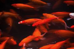golden carp swimming west lake hangzhou zhejiang china - stock photo