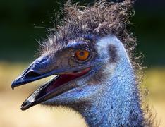 Hairy emu head close up Stock Photos