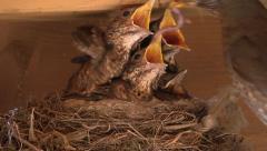 Thrush_Nest-01 Stock Footage