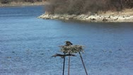 Stock Video Footage of Nesting pair of Ospreys