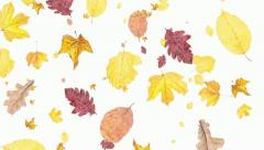 Leaves falling down on white background (ends on blue) Stock Footage