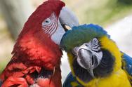 Grooming green wing macaw blue gold macaw Stock Photos