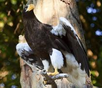 Stellar's sea eagle haliaeetus pelagicus spreading wings Stock Photos
