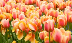 pink and yellow dutch tulips flowerbed - stock illustration