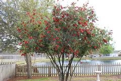 Bottle Brush Tree - stock photo