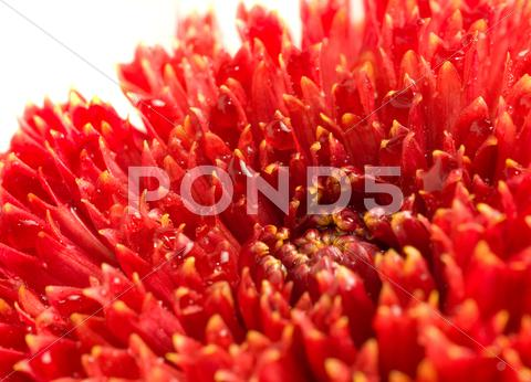 Stock Illustration of red dahlia bud with drops