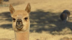 Alpaca Looking Around on a Farm Stock Footage