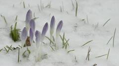 Spring bulbs flowering in fresh snow Stock Footage