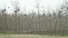 Rooks colony in Dobrogea, Romania Stock Footage