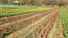Tulip Garden In Kashmir Stock Footage