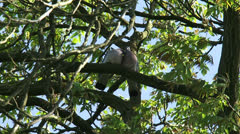 Pigeon love on a tree branch - low angle Stock Footage