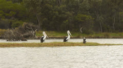Pelicans On The Moore River Stock Footage
