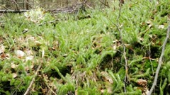 Endangered species clubmoss - stock footage