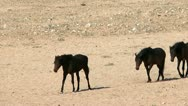 Wild horses in namibian desert Stock Footage