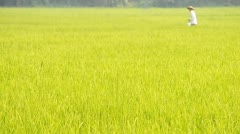 Rice farm and farmer scatter fertilizer for plants Stock Footage