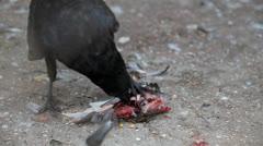 Raven - stock footage