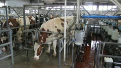 Milking Cows On Dairy Farm - stock footage