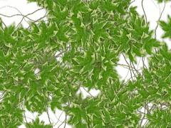 Ivy Transition Stock Footage