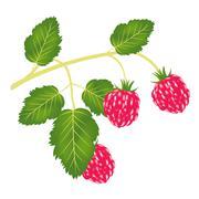 Branch of the ripe raspberry Stock Illustration
