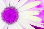 Artsy daisy in pink Stock Illustration