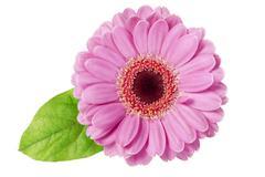 pink daisy isolated - stock photo