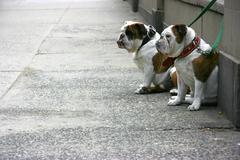 two bulldogs - stock photo
