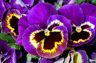 Stock Photo of puple pansies