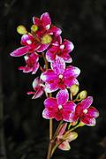 colorful moth orchids - stock photo