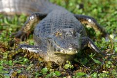 spectacled caiman  (caiman crocodilus) - stock photo