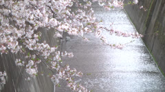 Cherry Blossoms,Sakura19 Stock Footage